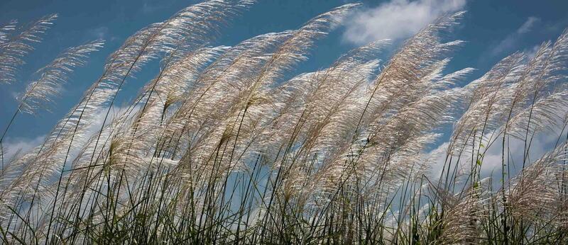 banner_reeds.jpg